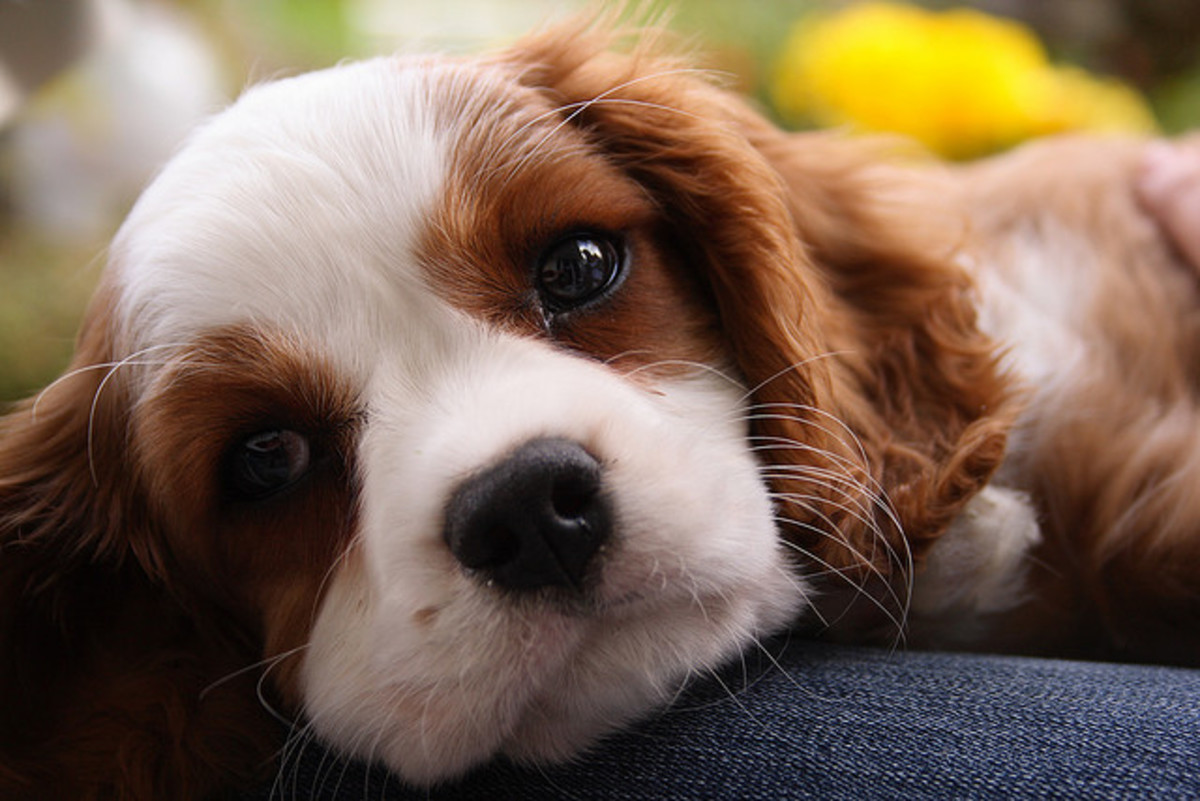The affectionate Cavalier King Charles Spaniel makes an excellent snuggler.