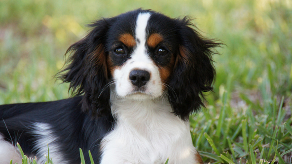 Tricolor Cavalier King Charles Spaniel puppy.