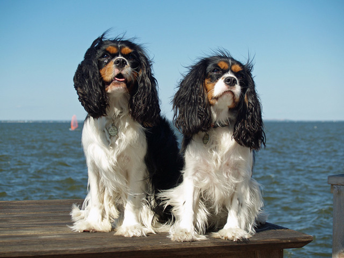 Cavaliers are sweet and friendly by nature.