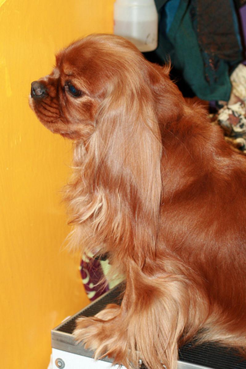 Ruby Cavalier King Charles Spaniel.