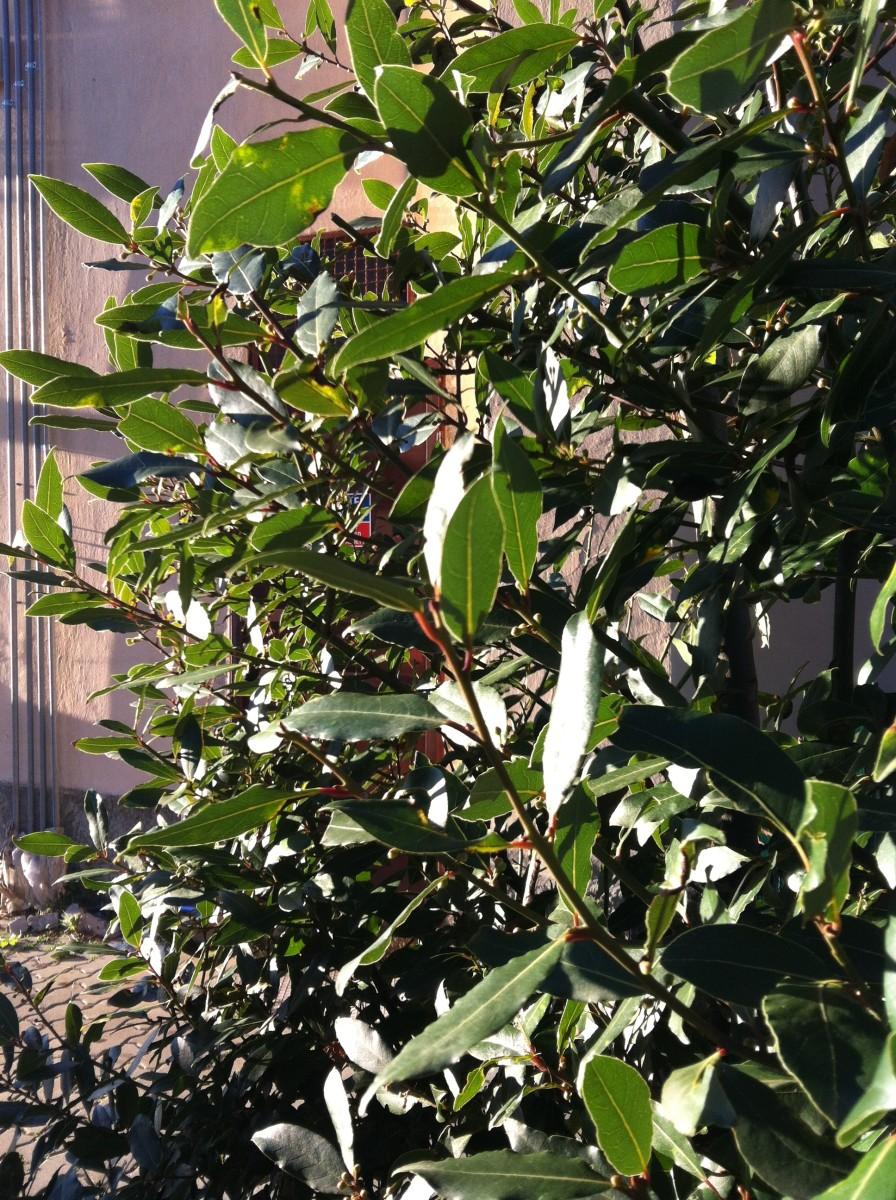Bay Leaf Bush