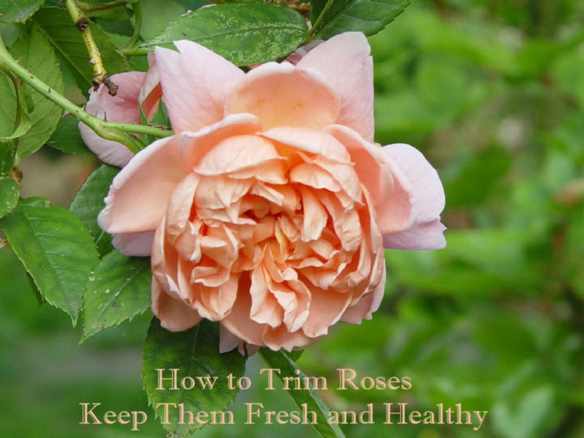How to trim roses and keep them fresh and healthy
