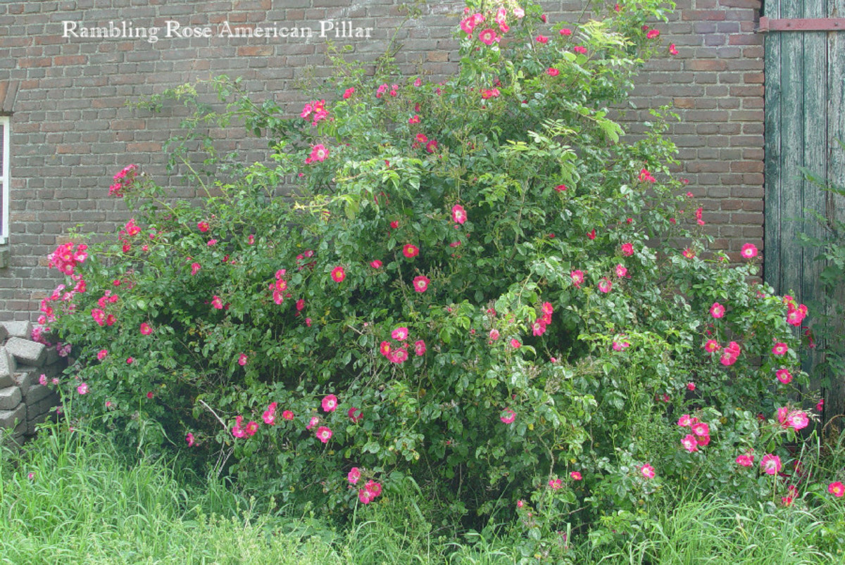 The out of proportion Rambling Rose American Pillar