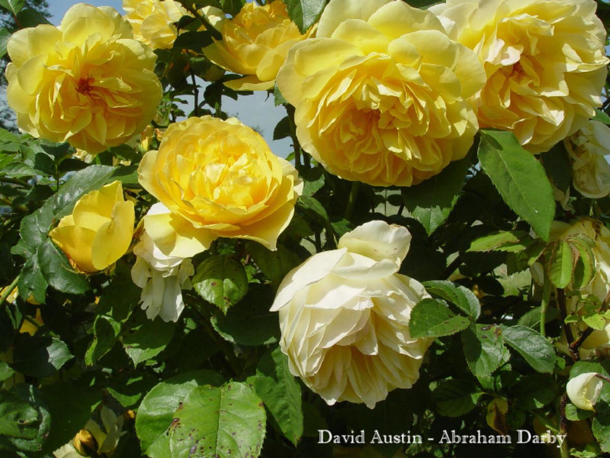 David Austen - Rose Abraham Darby