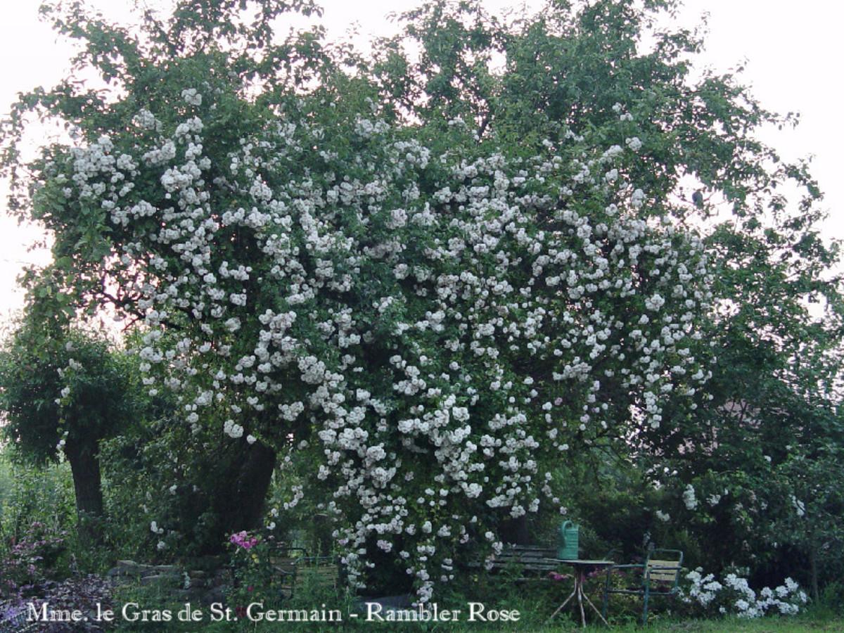 Rambler Rose Mme. Le Gras de St. Germain growing into an old apple tree