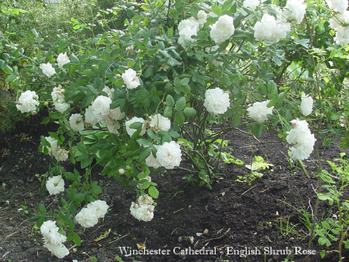 Winchester Cathedral - English Shrub Rose