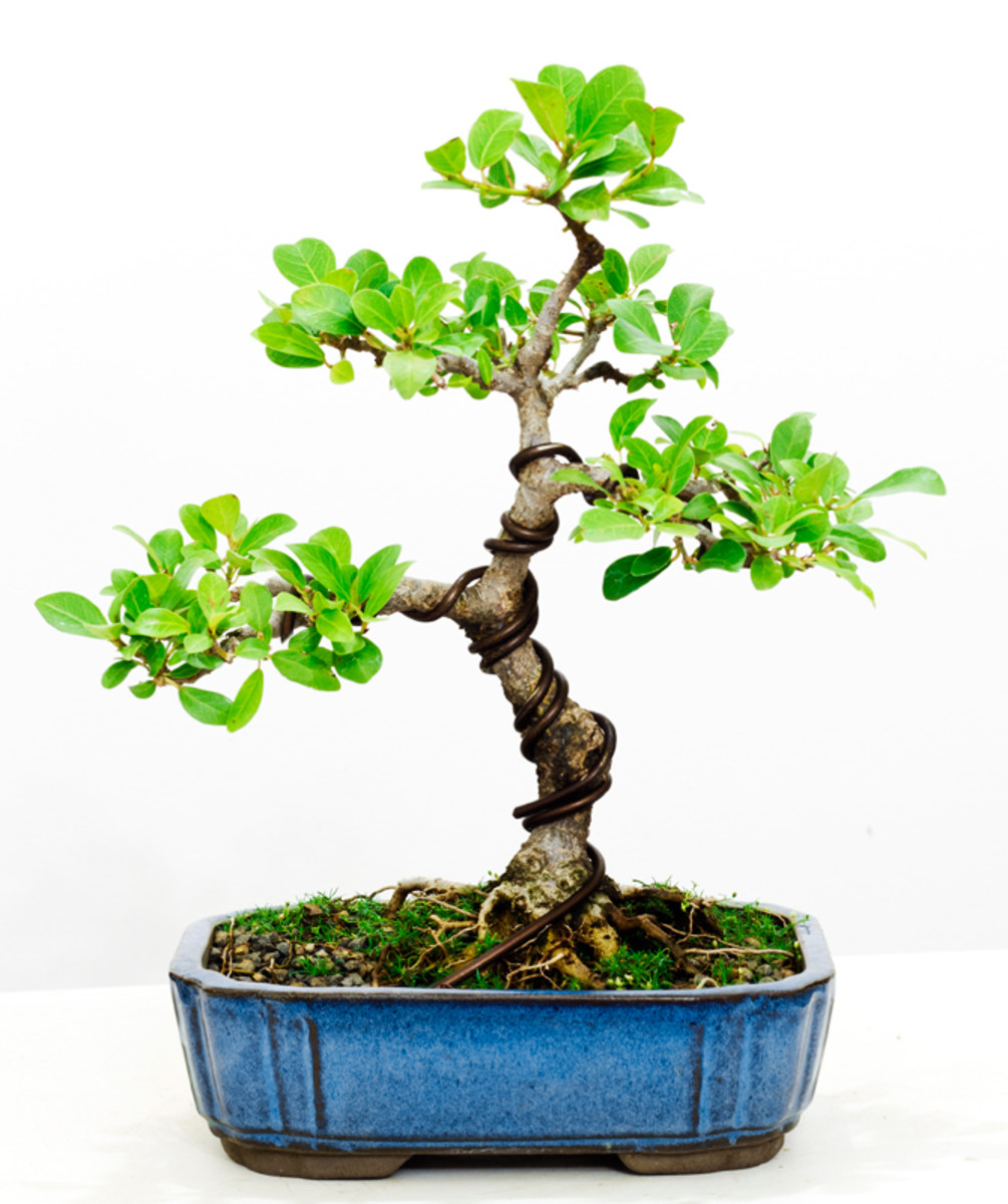 Ficus Natalensis bonsai five years after I started styling it from a young cutting.