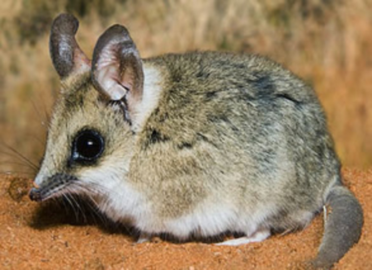 The fat-tailed dunnart uses stored up fat reserves from its tail to survive on when food sources are scarce.
