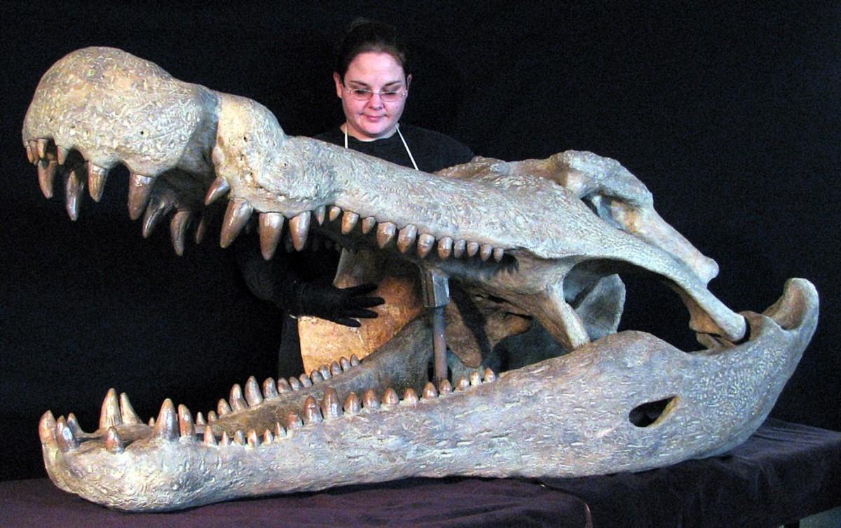 Deinosuchus skull