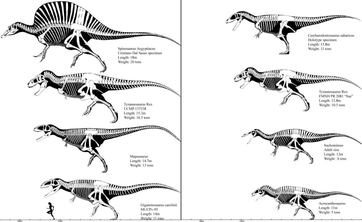 New evidence of T-rex size