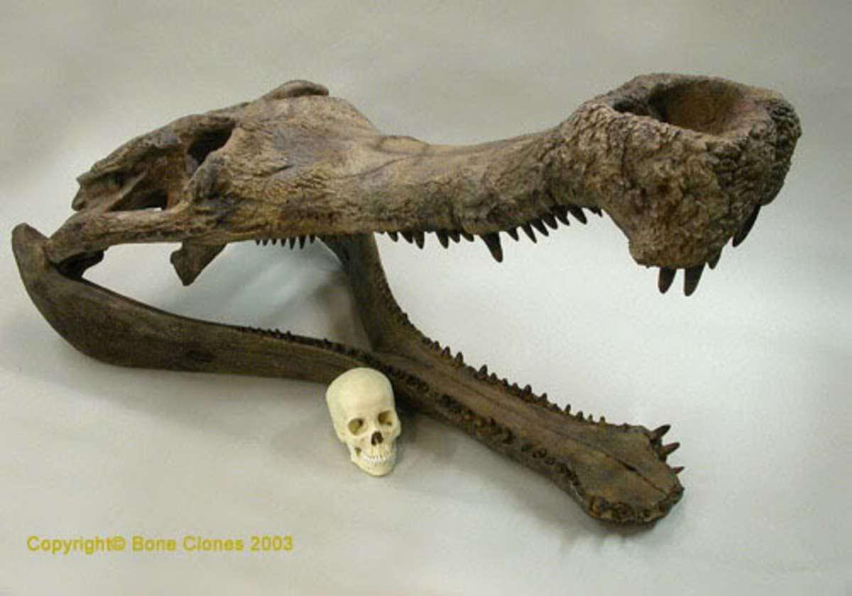 Sarcosuchus skull