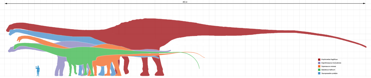 Amphicoelias is the largest known sauropod ever known, almost twice as large as other giant sauropods!