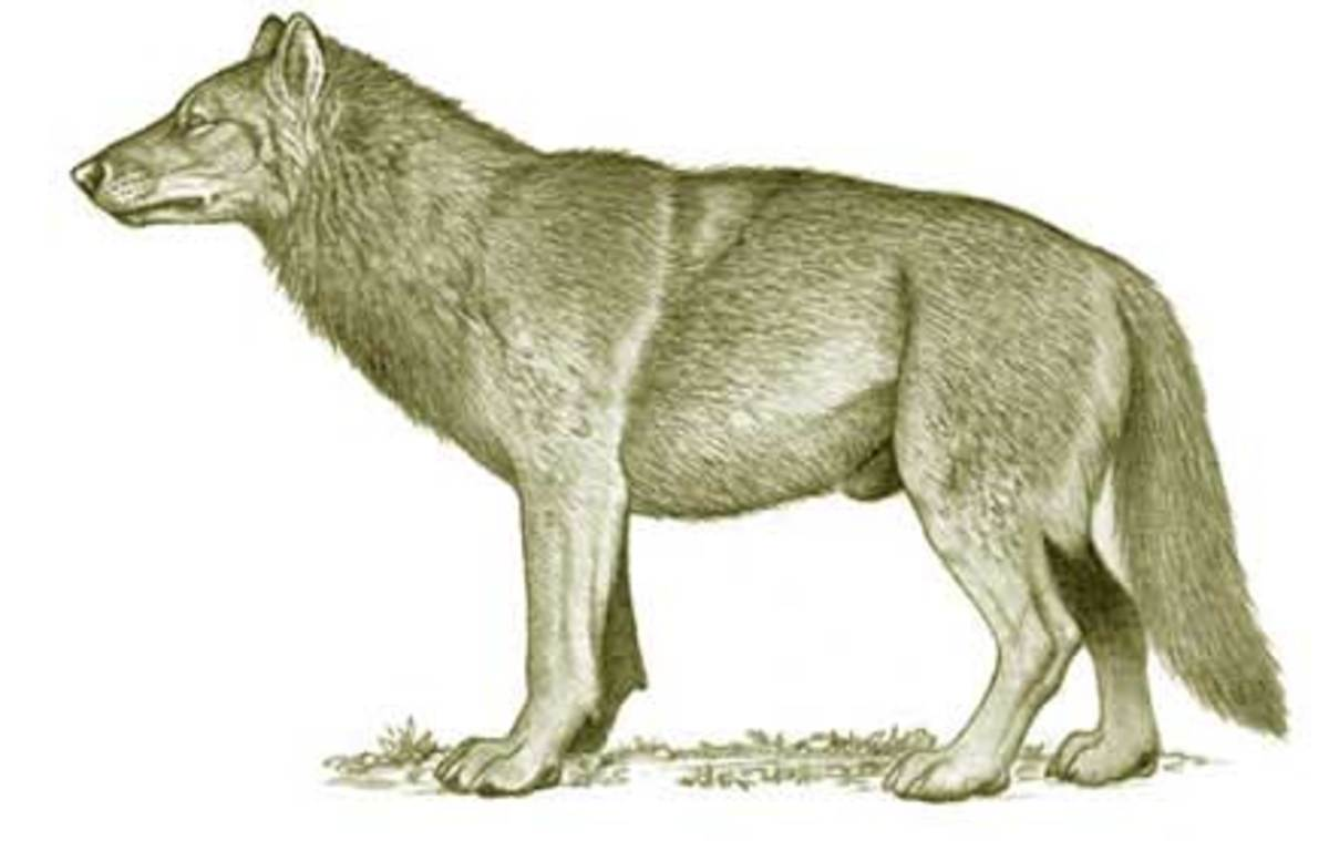 The Dire Wolf, the Largest Wolf to Have Ever Lived