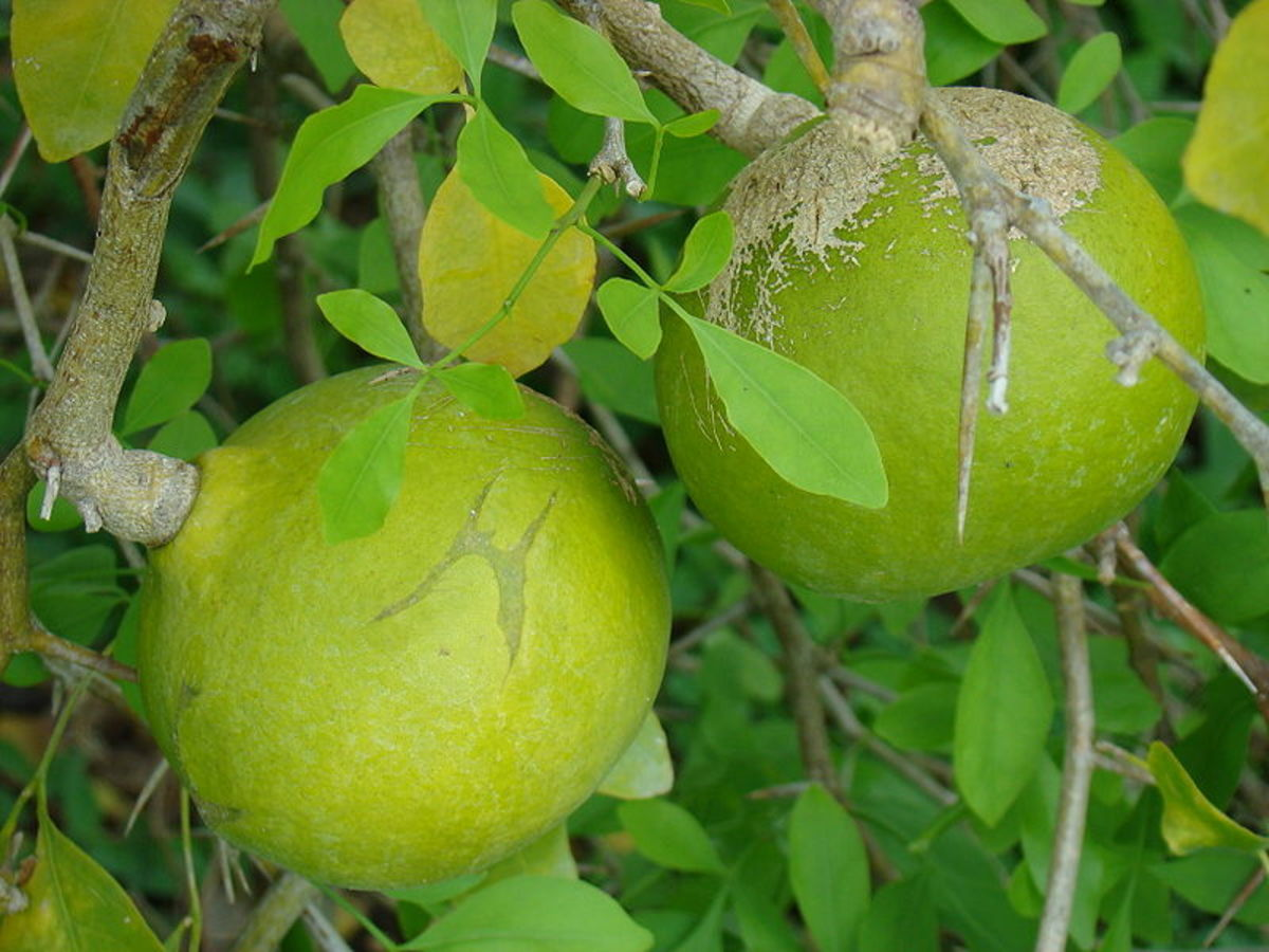 Close uo of mature but unripe Aegle marmelos