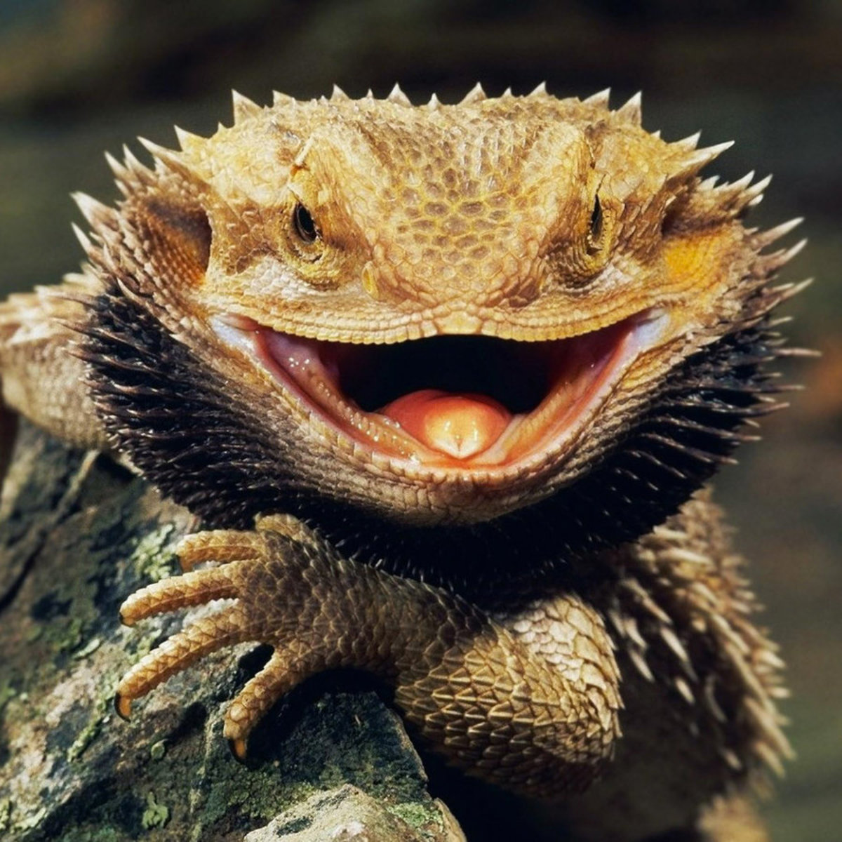Notice the spiked appearance of a bearded dragon's scales.