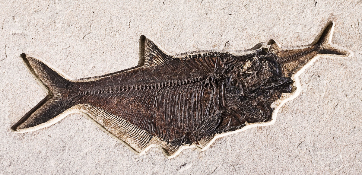 This fossil fish from Wyoming is seen eating another smaller fish at the moment of its death.