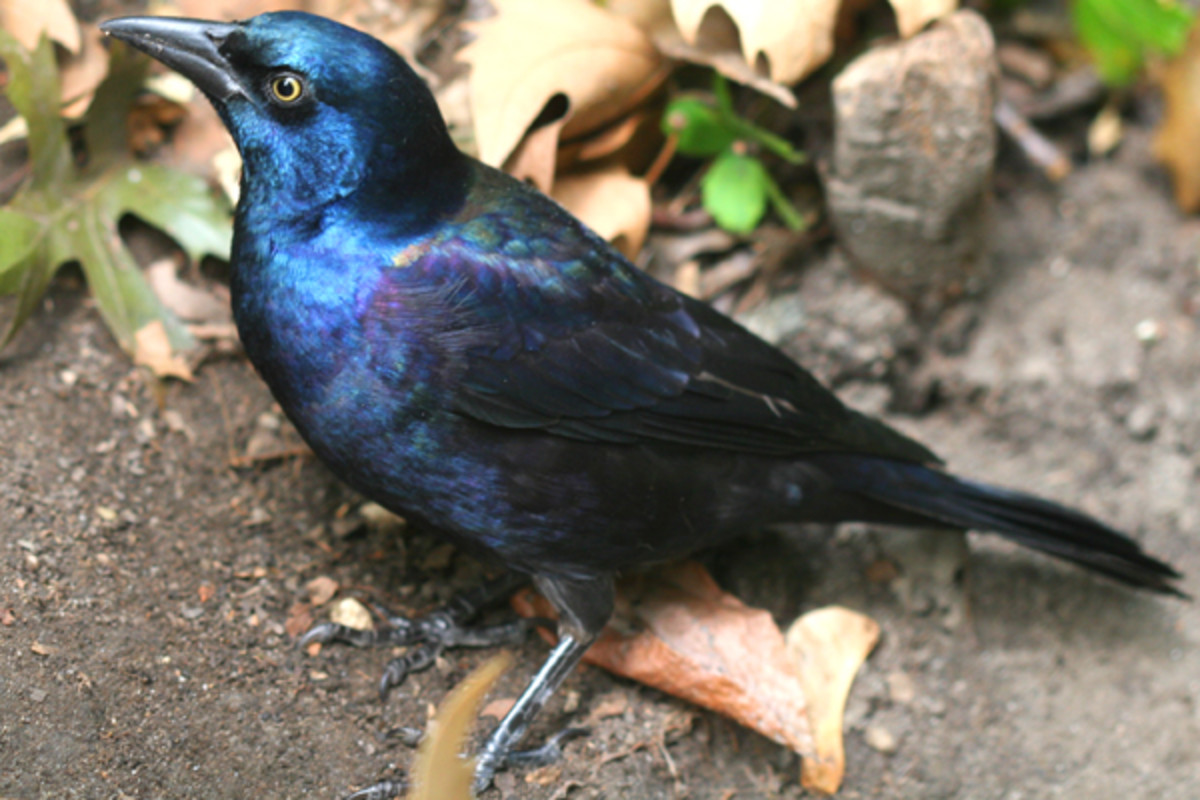 Common grackle's have an iridescent sheen over their black feathers that may resemble some feathered dinosaurs of the past.