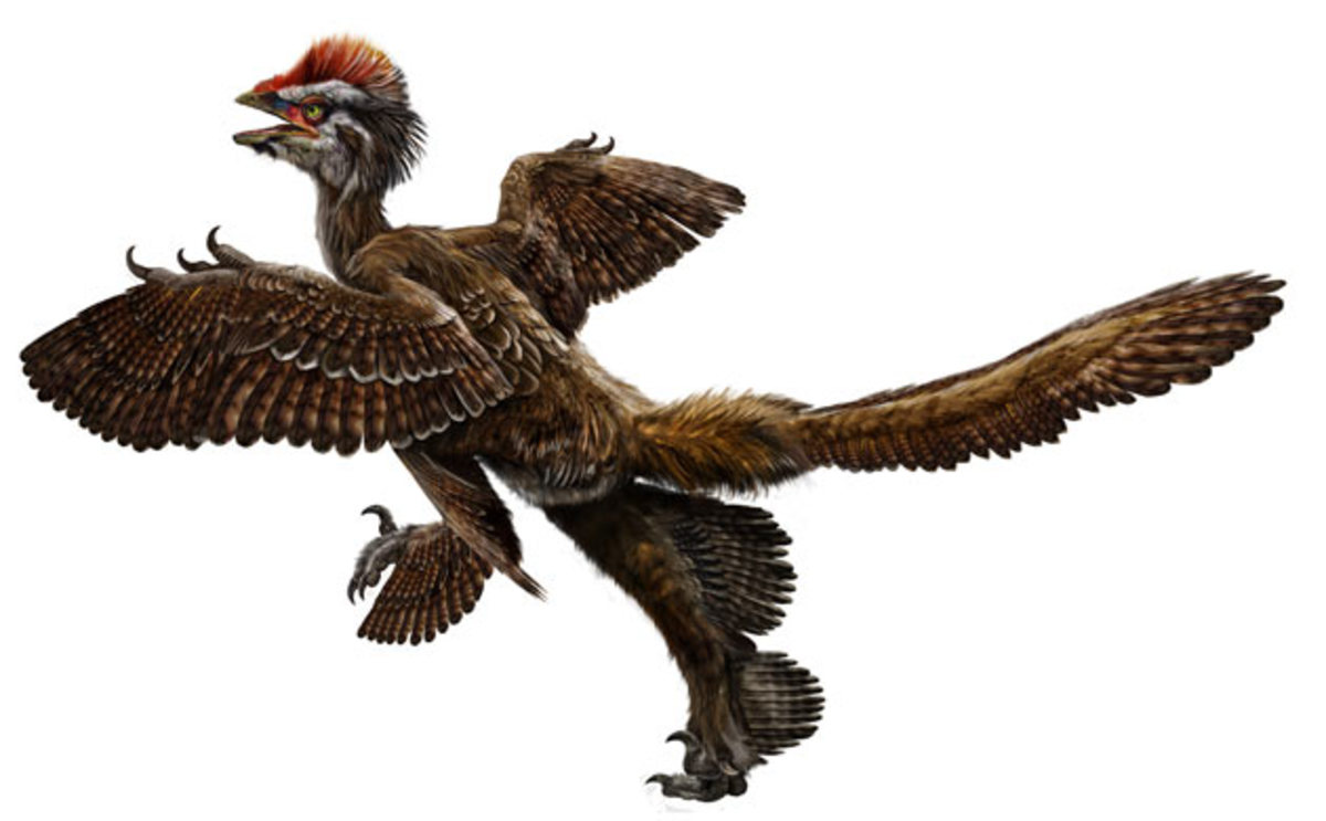 This feathered dinosaur may have lived in tree tops and used its four wings to glide.