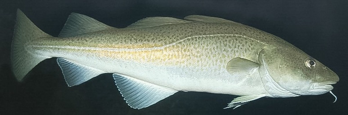 Atlantic Cod and Pacific Hake - Northern Cold Water Fish