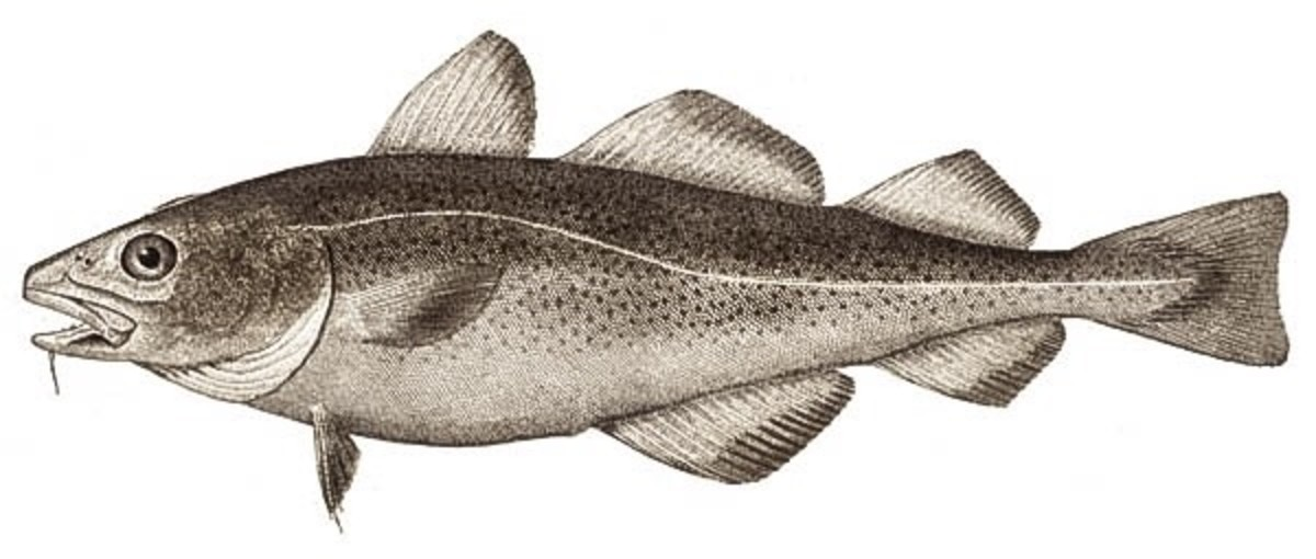External appearance of an Atlantic cod