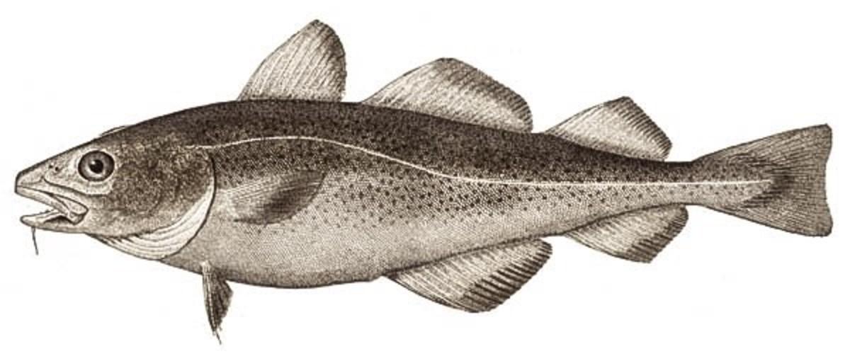 External appearance of an Atlantic cod