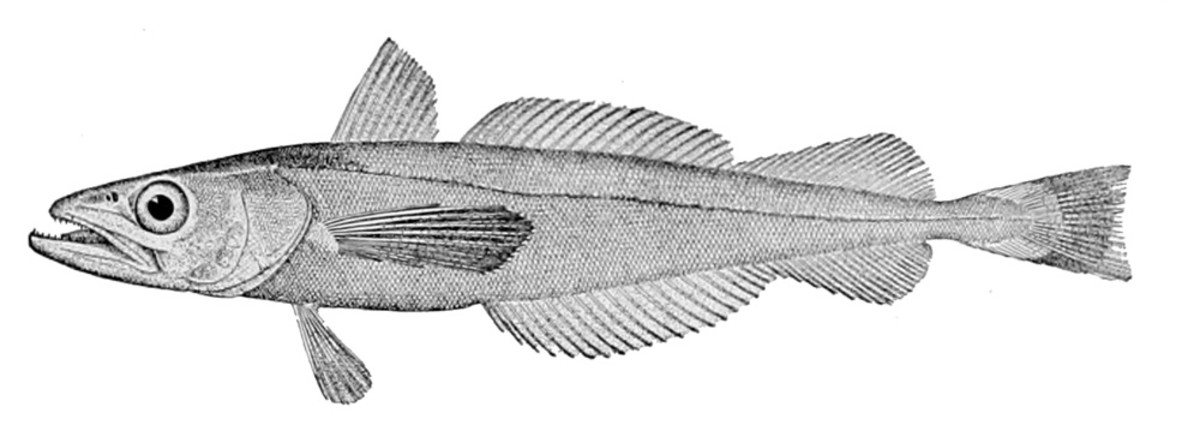 The Pacific Hake