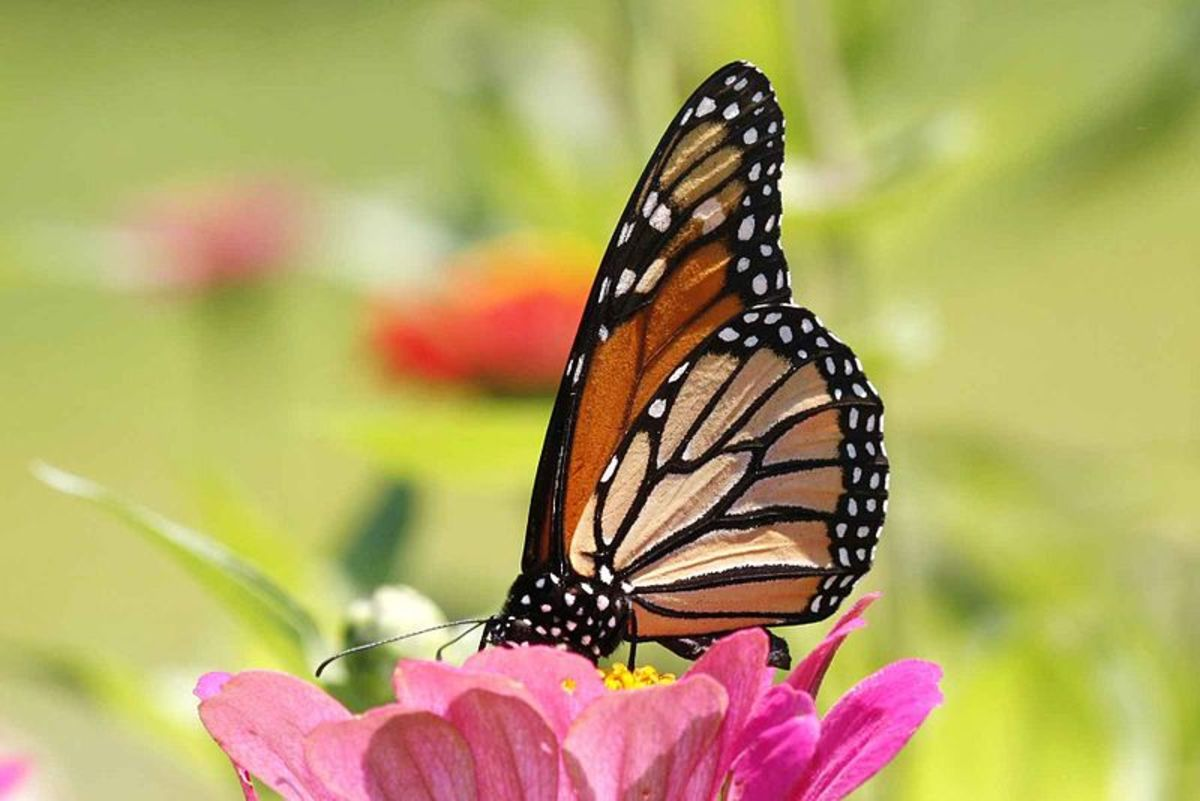 Monarch Butterflies migrate to survive winter
