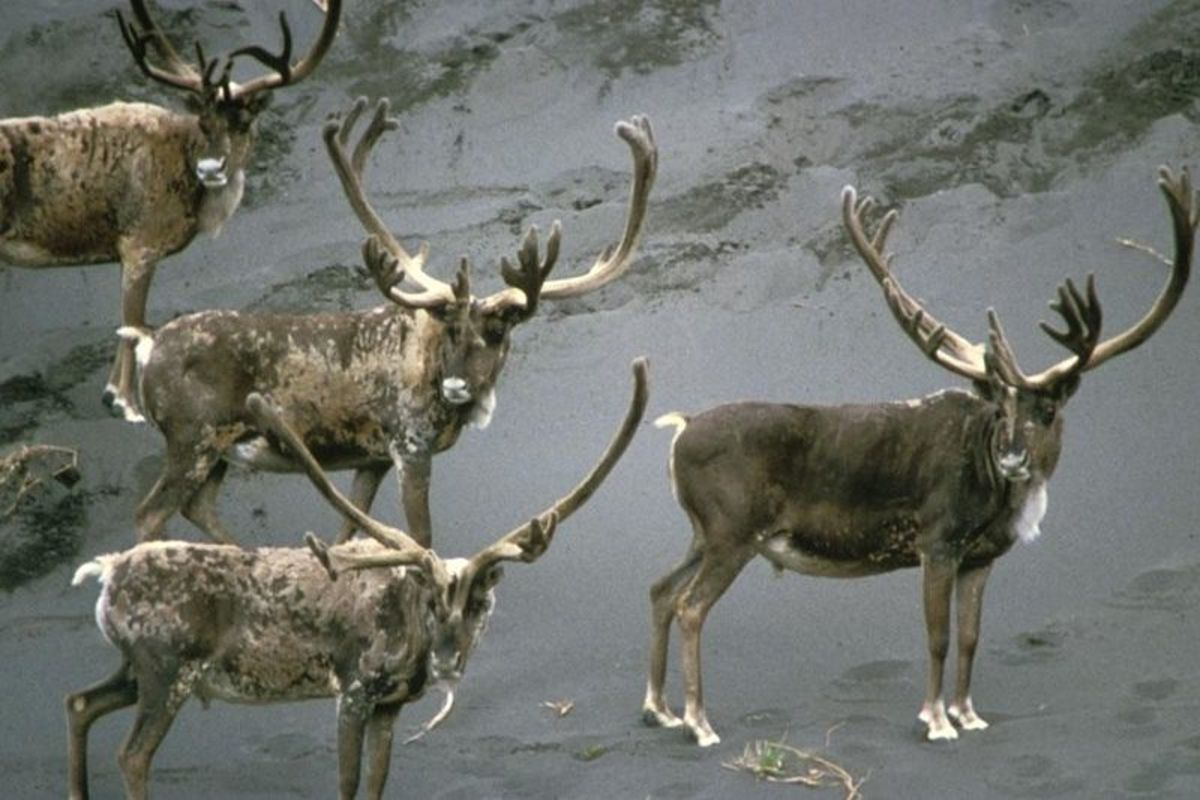 Caribou forage for food in winter