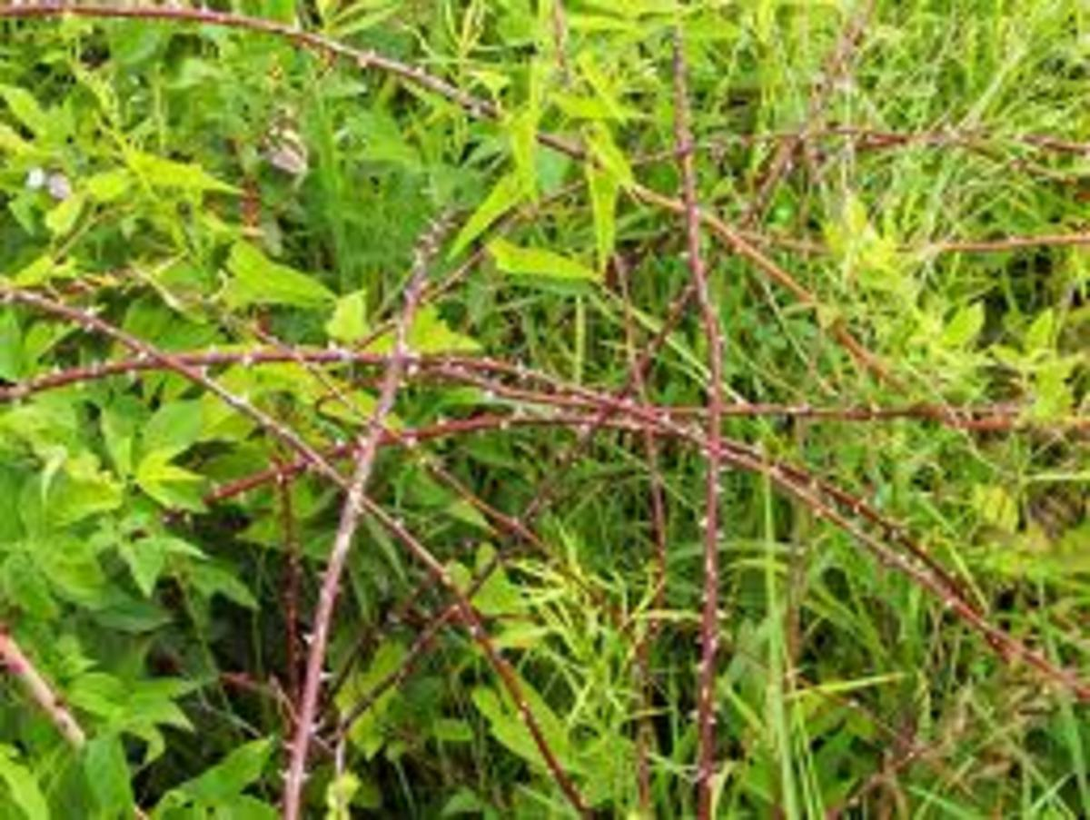 Thick tangle of briars provides cover and protection from predators, as well as a good food source for wild birds.