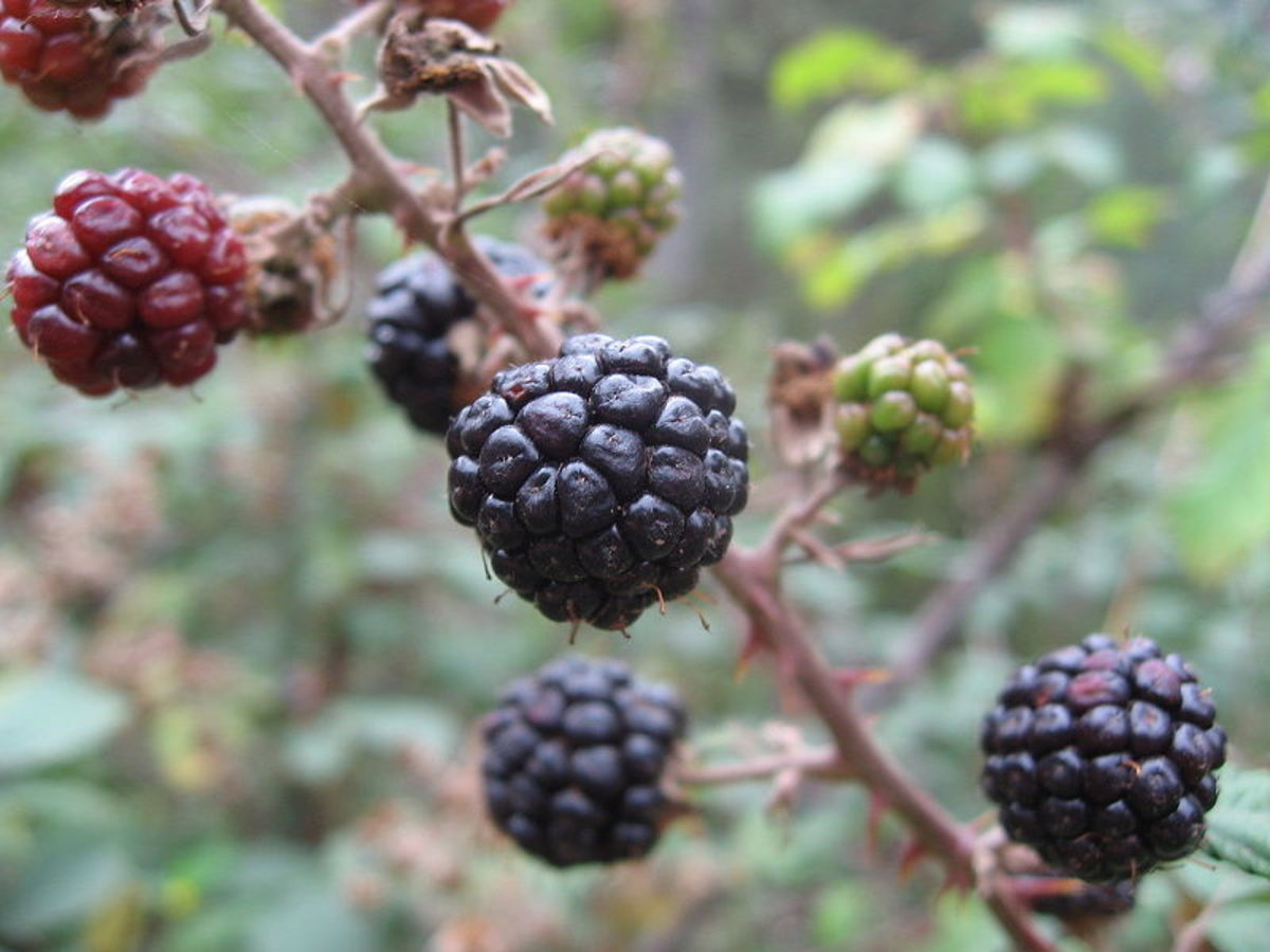 Ripe Blackberries.  Yum!