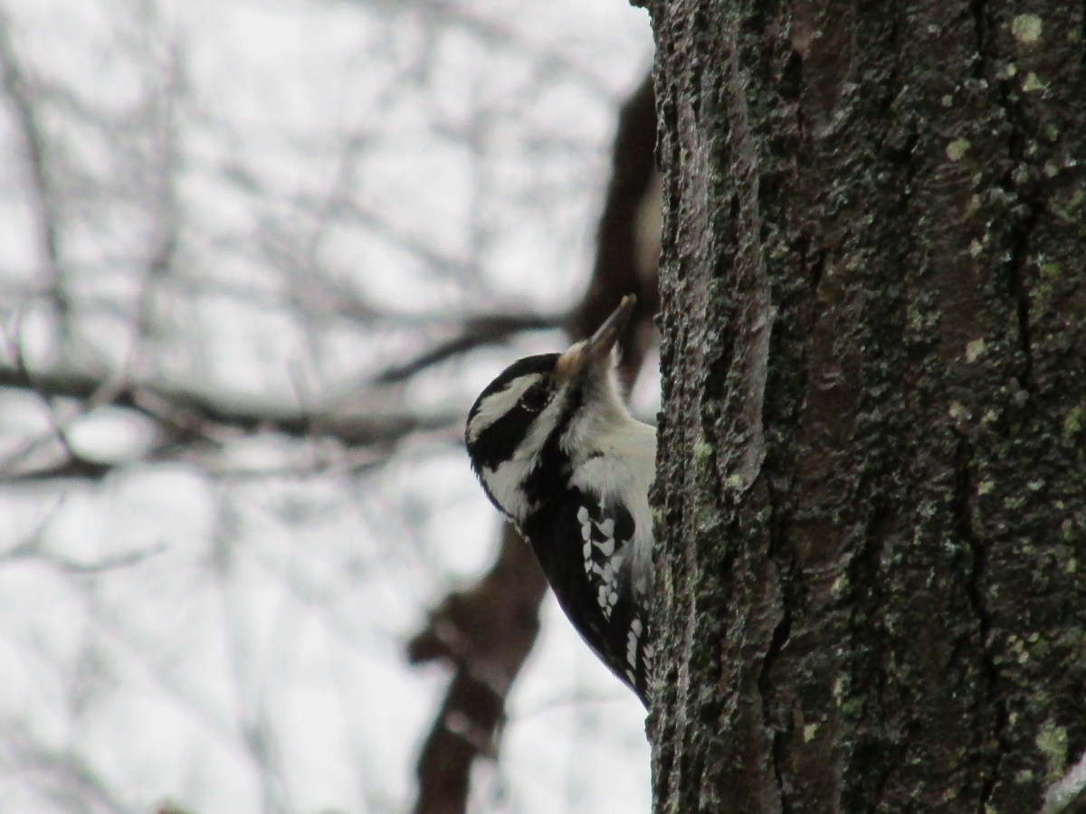 Woodpeckers have a sweet tooth as well as a penchant for bugs!