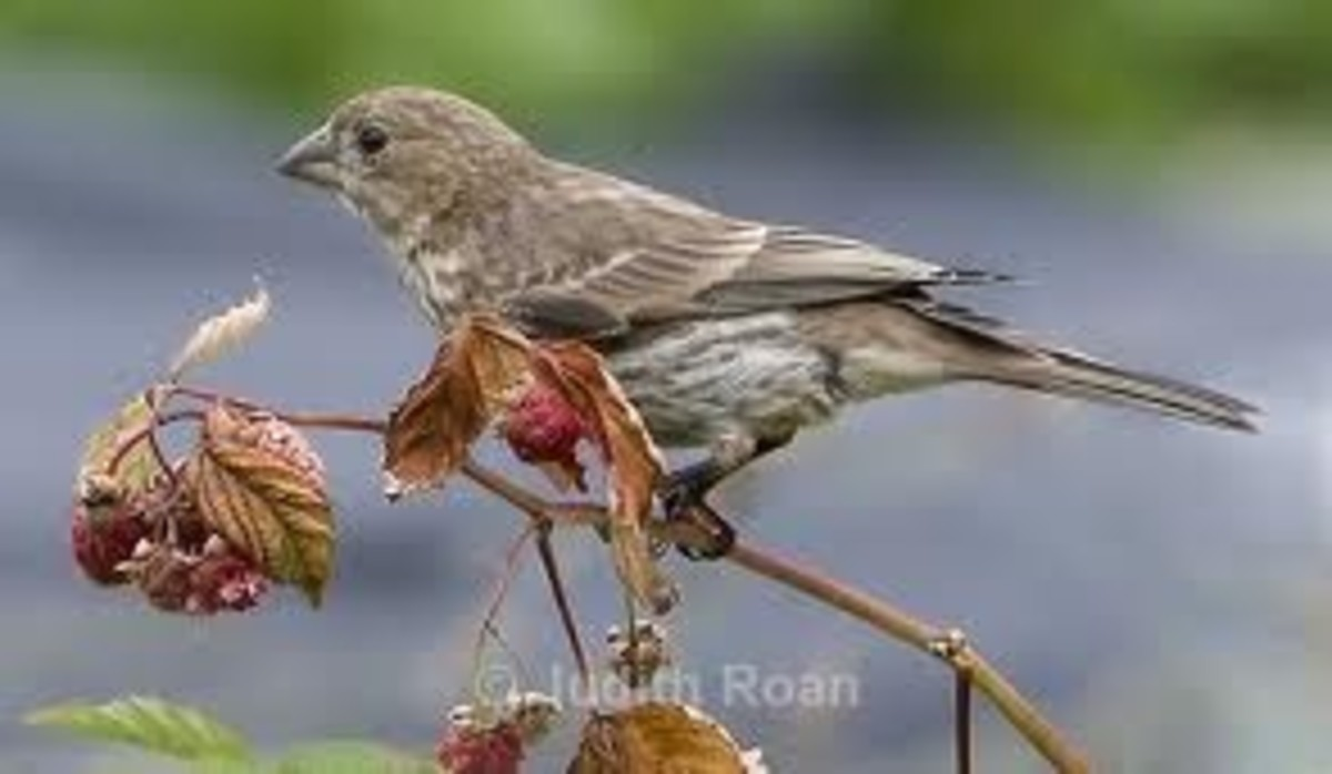 Female Purple Finch in raspberrry bush.