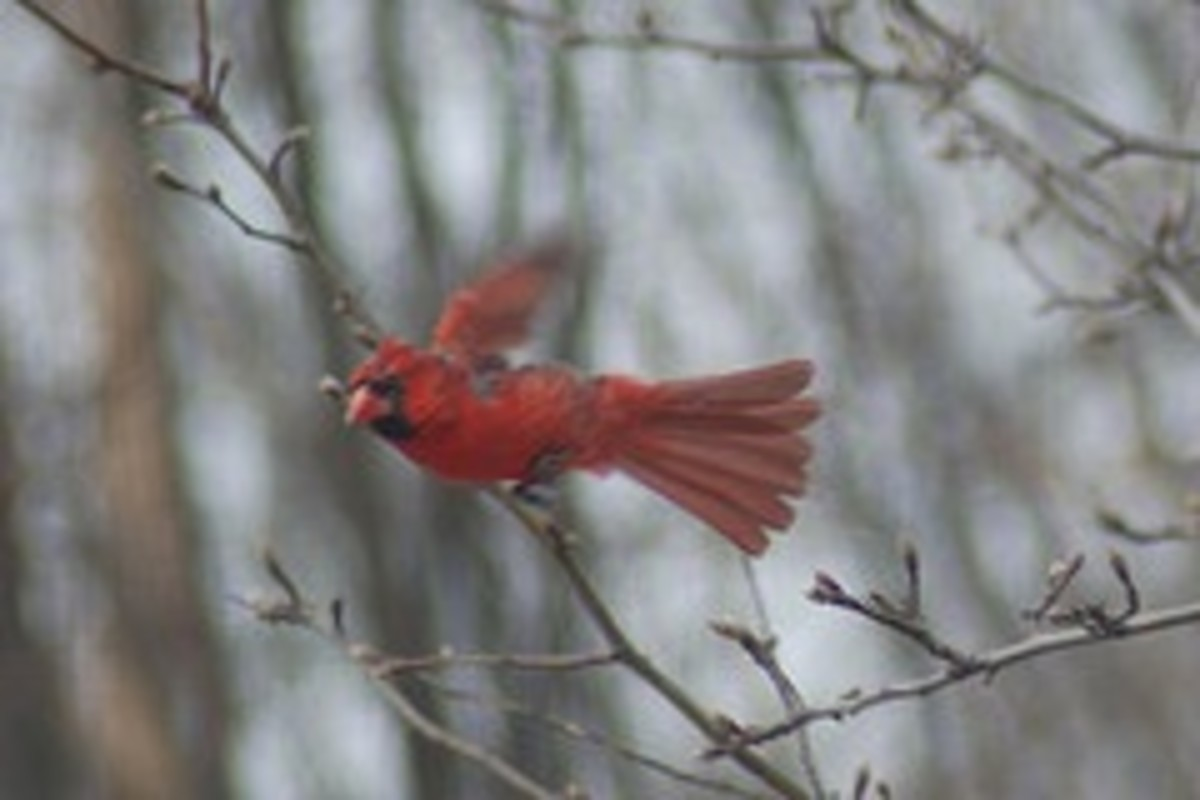 Cardinal in flight!