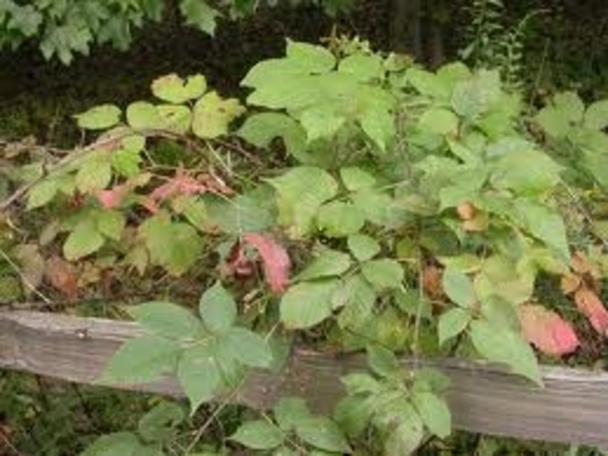 Raspberries planted next to a fence make for easy access by humans and birds!