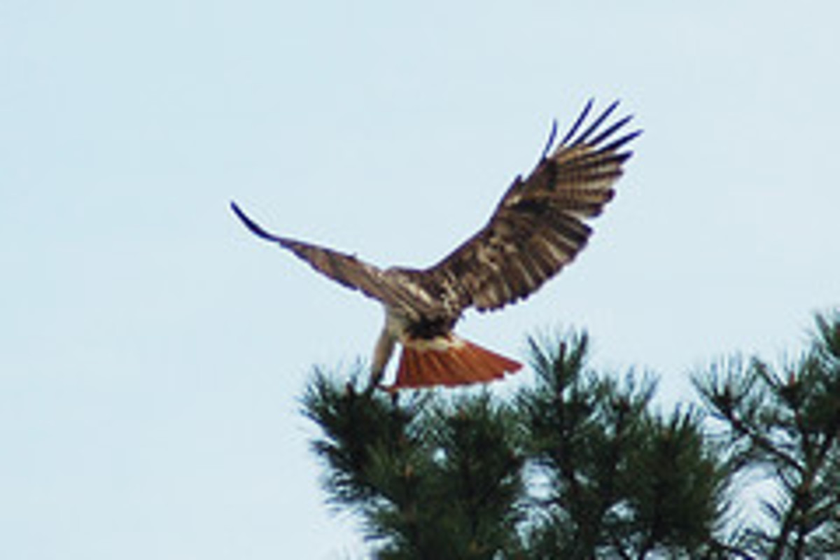 Red-Tailed Hawk--large bird of prey.