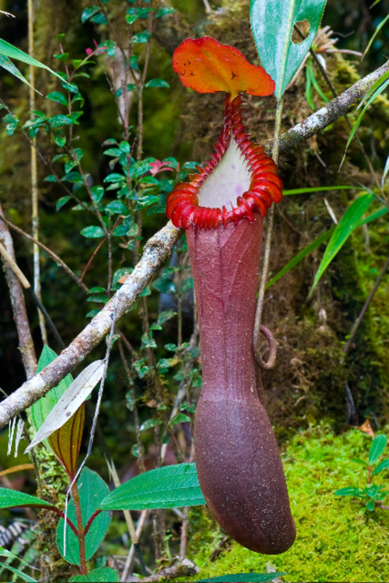 Pitcher plant, nepenthes edwardsiana
