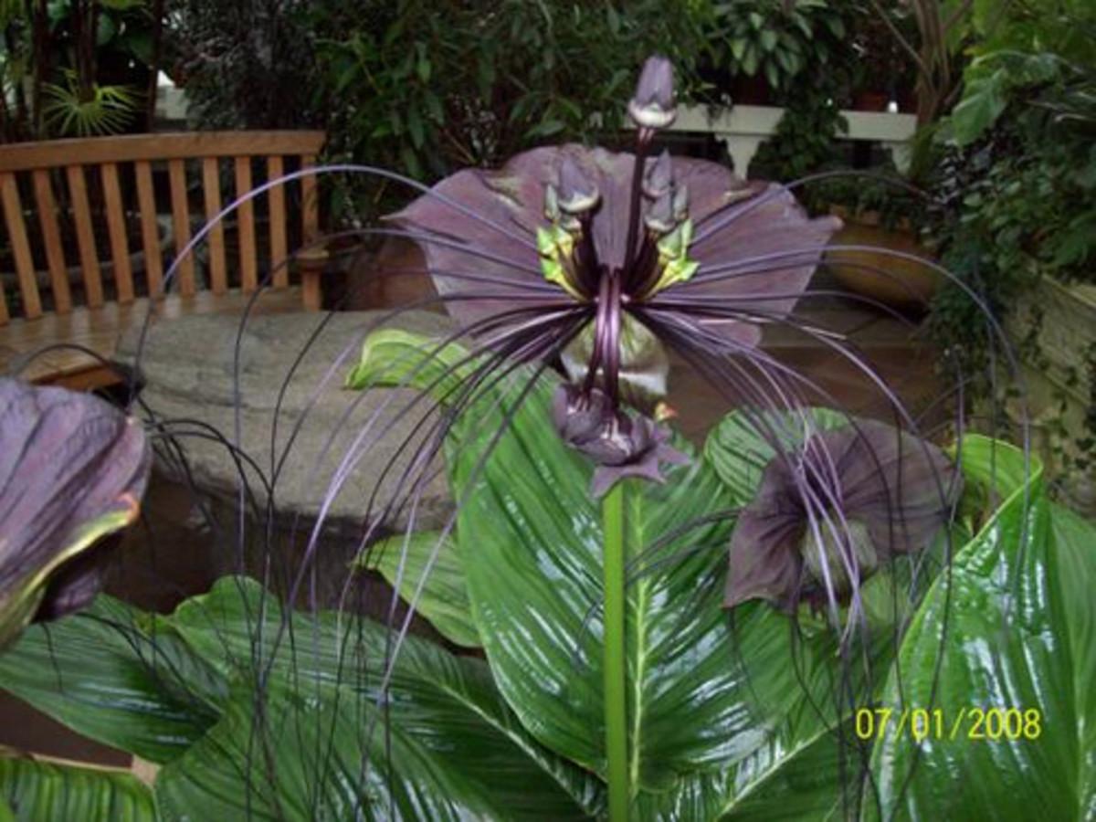 экзотические цветы такка Кошачьи усы