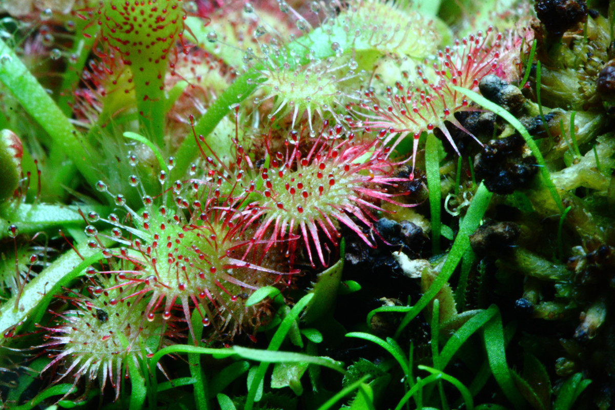 The sundew is a beautiful carnivorous plant.