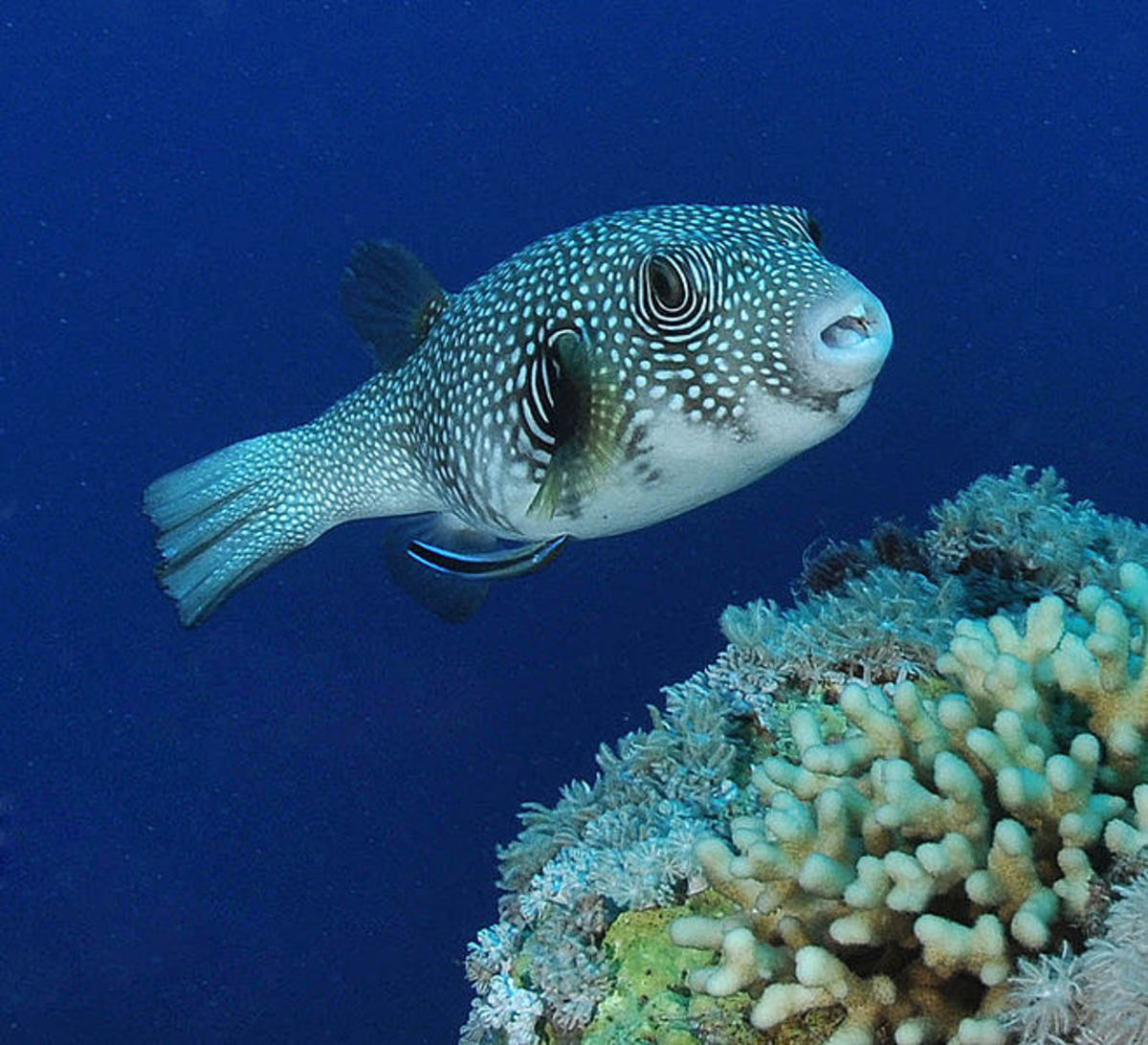 Facts about amazing puffer fish a marine wonder for Puffer fish adaptations