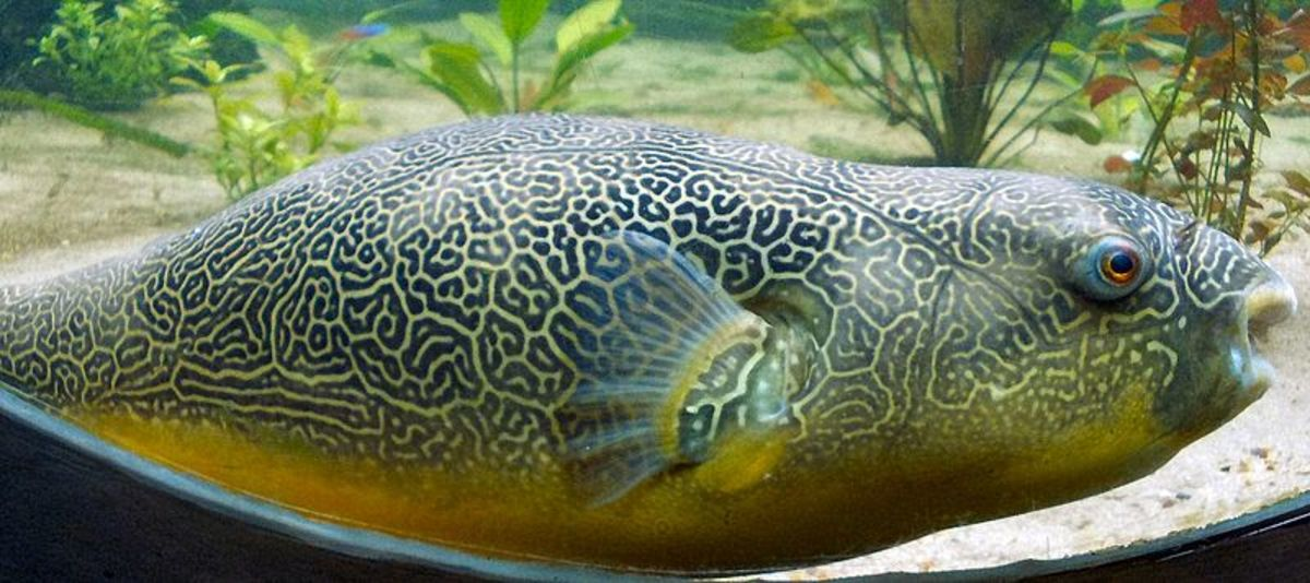 Facts about amazing puffer fish a marine wonder for Giant puffer fish