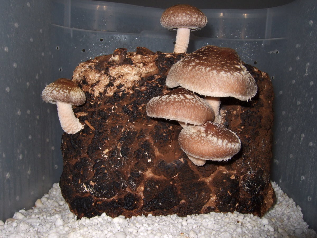 Shiitake mushrooms growing