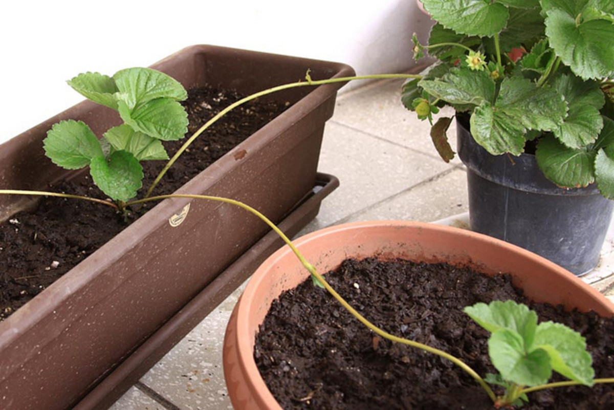 How to Grow and Reproduce Strawberry plants in Containers by Runner Propagation  - A quick gardening guide