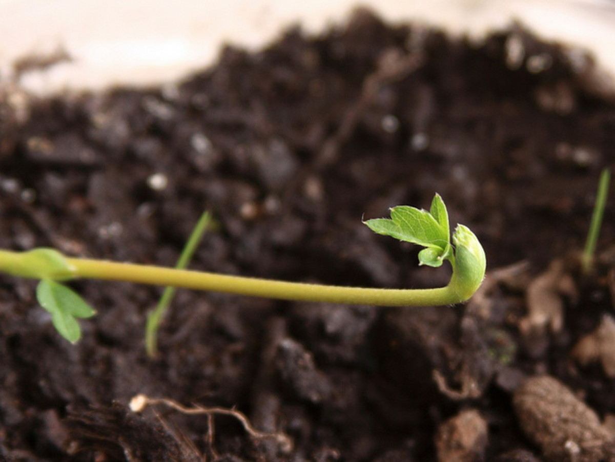Set a pot with fertile soil close to the mother plant and the stolon will grow roots when it touches the ground there.