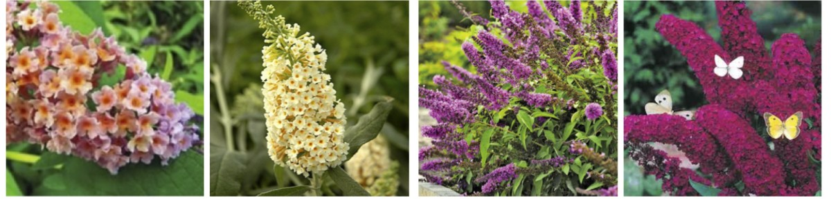 Left to right: BiColor Buddleia, Flutterby Grande Vanilla Cobbler, Buddleia Flutterby Petite™Tutti Fruitti, Buddleia Red Royal From
