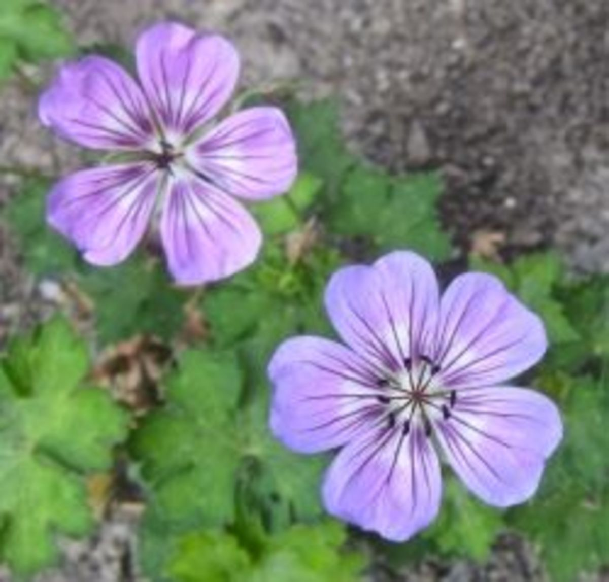 A close-up of one hardy geranium we grow. © 2012-16 CJS. All Rights Reserved.