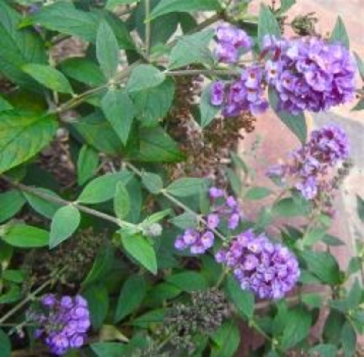 A dwarf Buddleia in our garden. Copyright 2012 CJS. All Rights Reserved.