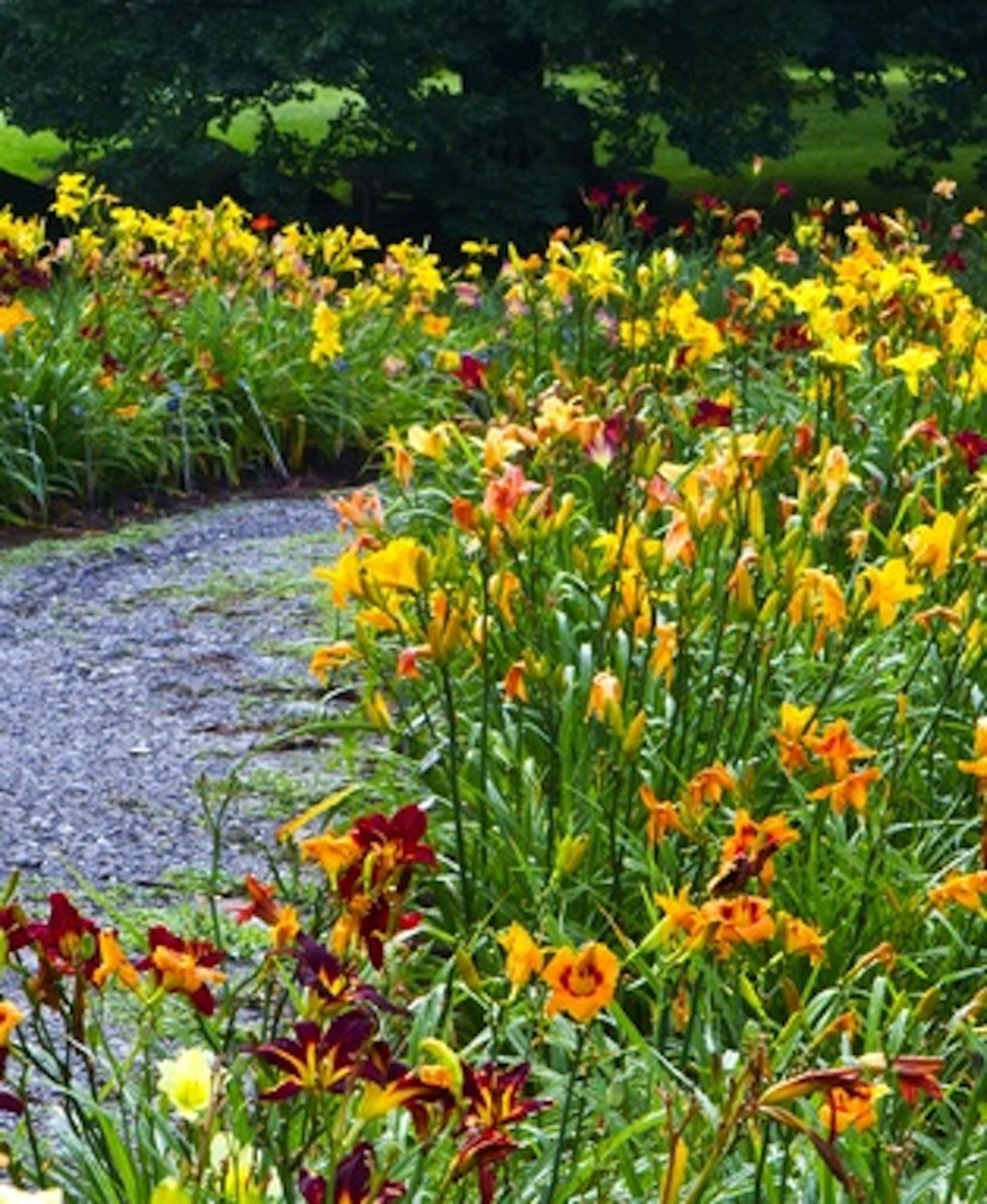 A path lined with daylilies.