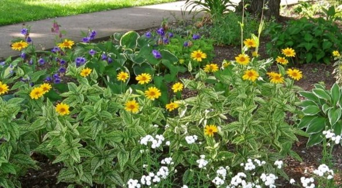 A perennial garden bed featuring more easy-to-grow plants including hosta, rose and purple campanula, heliopsis, and achillea. Photo Copyright 2012-16 CJS. All rights reserved.