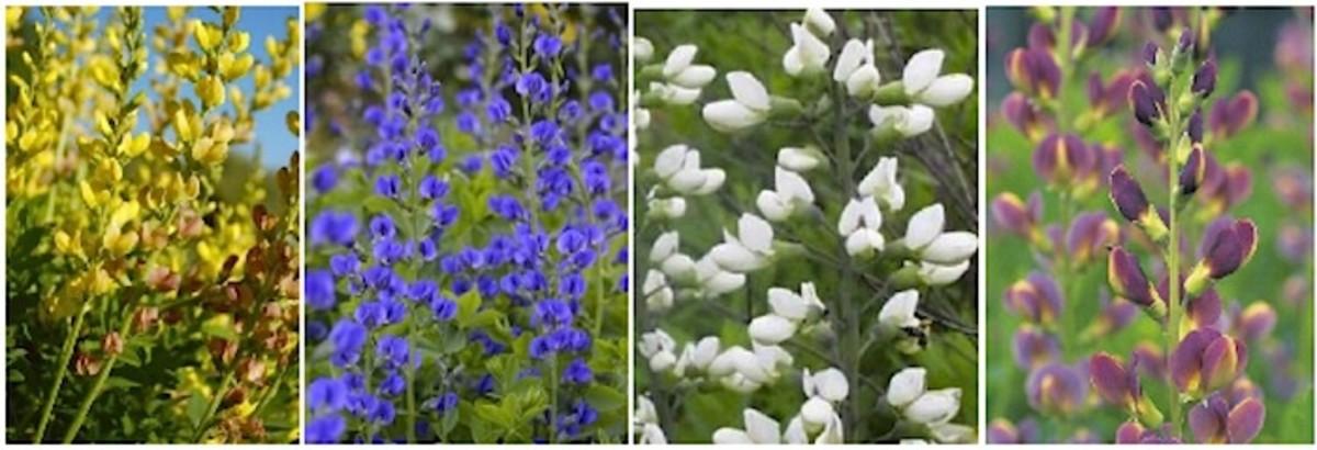 A Sampling of Baptisia's Color Range: From left to right: Baptisia 'Solar Flare' Prairie blues, Blue Baptisia Australis, White Wild Indigo (Baptisia alba), Baptisia Indigo Twilite Prairie Blues. Available at