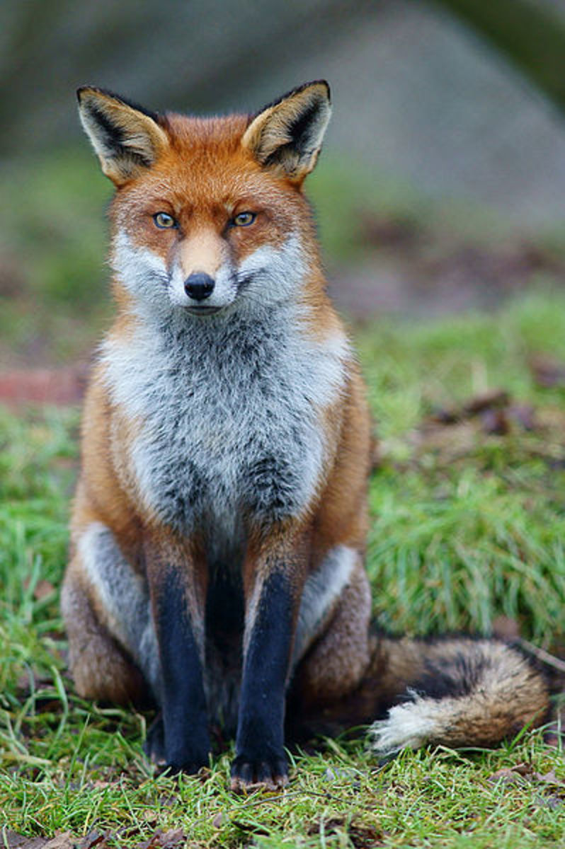 Red foxes originated in Eurasia, but have since naturally colonised North America and have been introduced to Australia by humans.